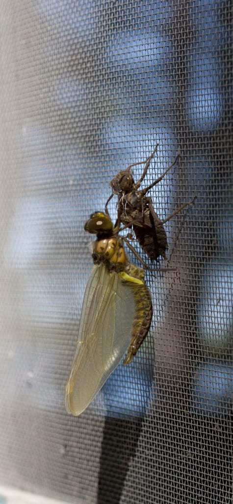 Dragonflies are a welcome sight